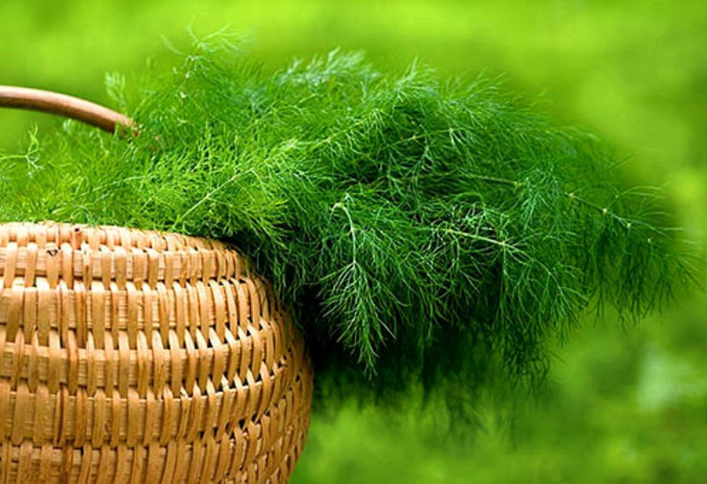 Dill: useful properties and contraindications in folk medicine