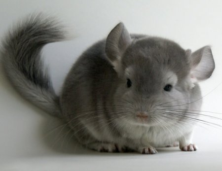 How can I keep chinchillas at home?