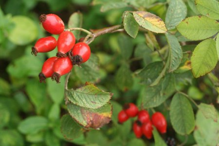 Cleanse the kidneys and the bladder using rosehip