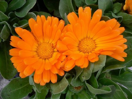 Calendula - the unique healing properties of plants