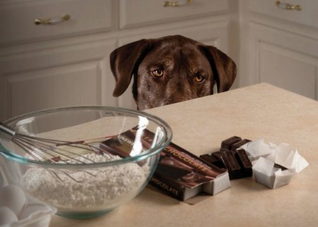Dogs & Chocolate: What You Need To Know