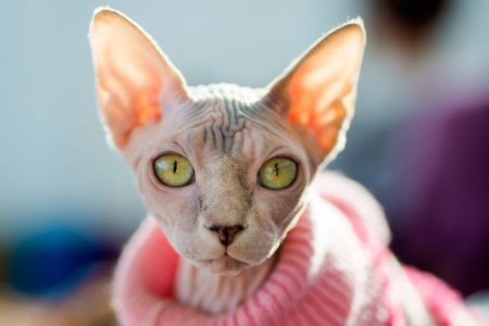 How to Care for Sphynx Cats